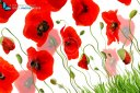 Multiple red poppies isolated on white with grass and buds