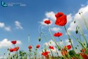 Several red poppies in grass on blue sky