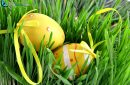 Close-up Easter yellow eggs with node hidden in green grass