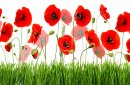 Red poppies and green grass  isolated on white