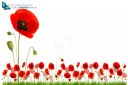 Red poppy flowers in grass isolated on white