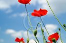 Several red poppies in the grass on a blue sky background