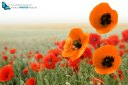 red and orange poppy flower fields