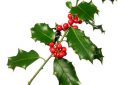 Holly branch with bright red berry isolated on white