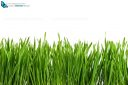 Greasy green grass cut out and isolated on white background for template and banner design
